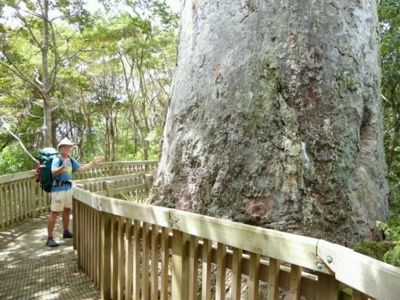 giant-kauri