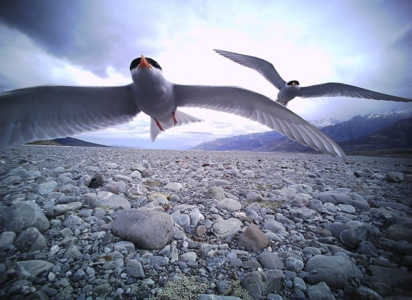 Black fronted terns approach our remote predator cam on Pukaiki River.