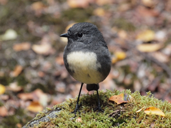South Island robin.