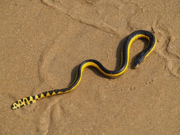 photo of the week yellow bellied sea snake conservation. Black Bedroom Furniture Sets. Home Design Ideas