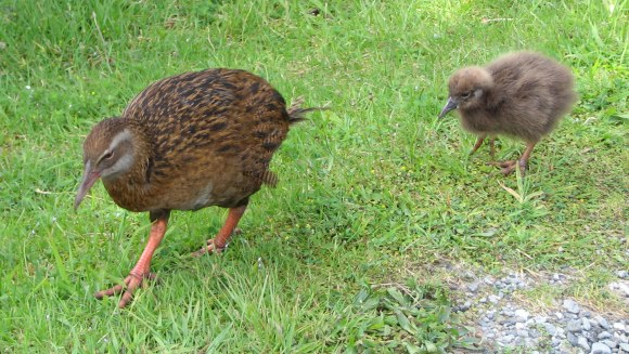 weka-and-young-anita-gouldCC2.0