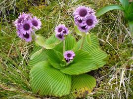 Campbell Island daisy. Photo: twiddlebat (CC BY-SA 2.0)
