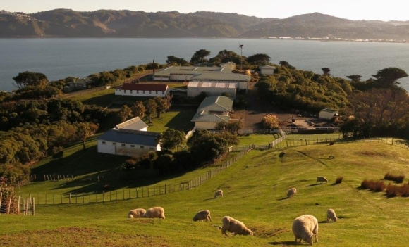 The sheep on Matiu/Somes Island.