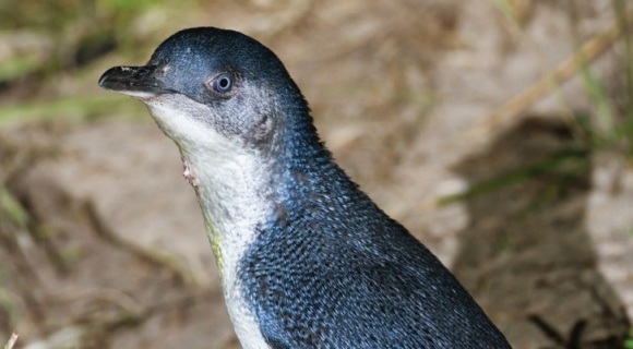 Littl blue penguin/kororā. Photo: J Harrison.