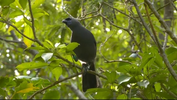 The North Island kōkako, pictured in a still from the Wildside film.