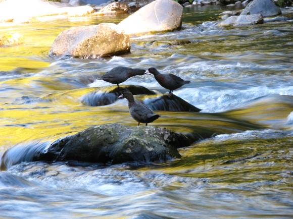 Whio on whakapapa river. Photo Mike Bodie