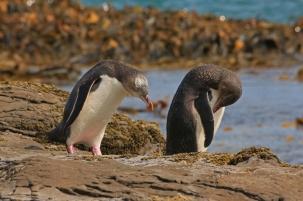 Yellow-eyed penguins. Photo: Alan Cressler.