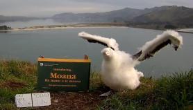 Moana-the-albatross
