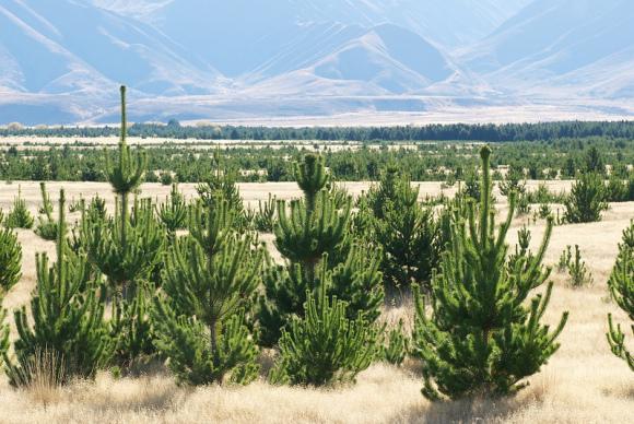 Wilding pine trees.