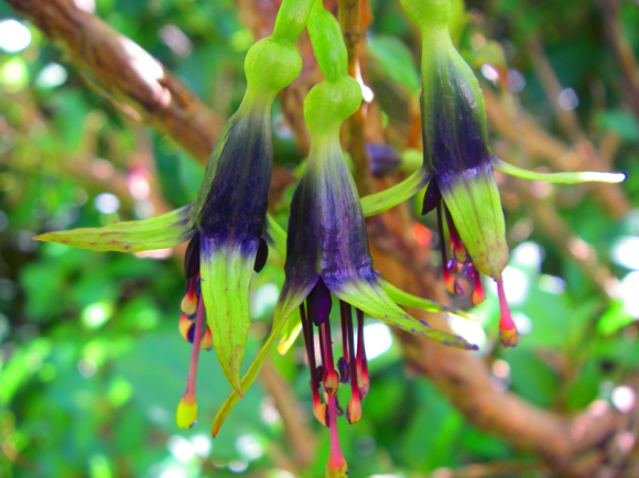 Kōtukutuku/tree fuchsia flowers. Photo: Brent Tandy.