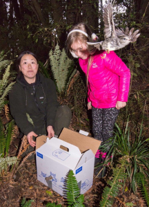 Toutouwai released into Hundred Acre Bush. Photo: Lauren Buchholz.