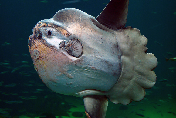 An ocean sunfish or common mola.