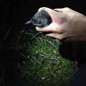 An adult diving petrel, held by Mana Island Chris Bell. Photo: Leon Berard.