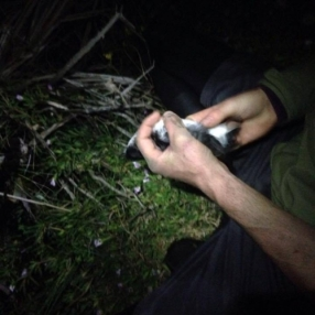 Banding a diving petrel in the wee small hours, the day of the big quake. Photo: Leon Berard.