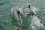 Māui dolphin. Photo: Martin Stanley.