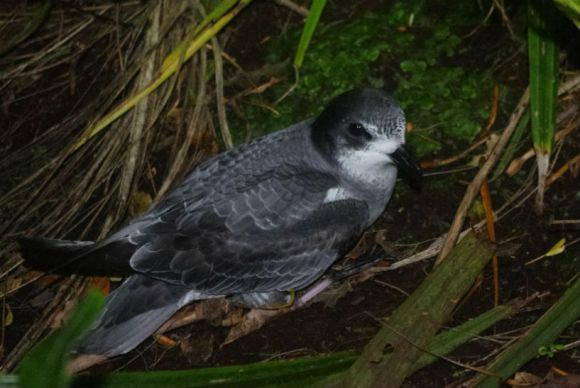 Mottled petrel, Anchor Island. Photo: Colin Miskelly (Te Papa).