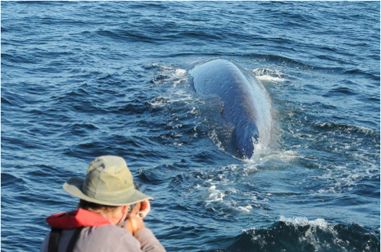 Mike Ogle lining up for a biopsy on a blue whale