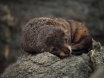 New Zealand fur seal/kekeno pup at Cape Palliser. Photo Herb Christophers.