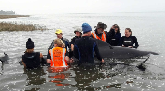 Assisting a stranded whale.