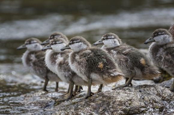 Whio ducklings. Image: Dave Buckton.