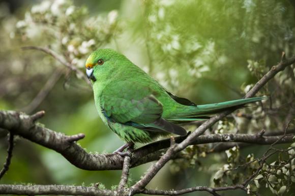 Orange-fronted parakeet. Photo: © Sabine Bernert.