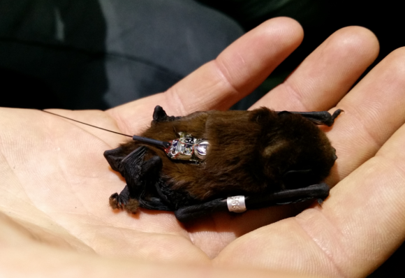 Transmitter and band on long-tailed bat. Photo: Bronwyn Slack