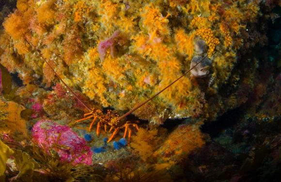 Crayfish/koura.
