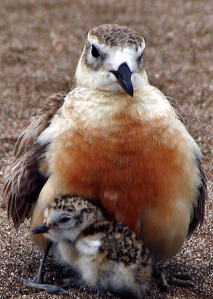 Dotterel mum and chick.
