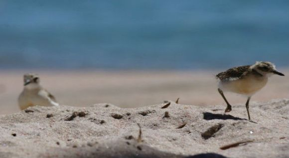 Dotterels on the beach.