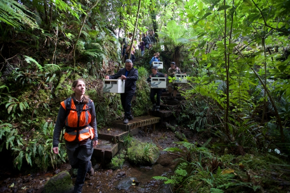 Taranaki Mounga releasing New Zealand robins/toutouwai.