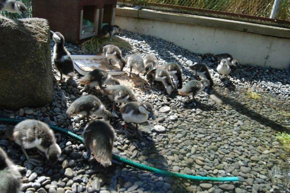 6 whio_ducklings_at_peacock_springs.jpg