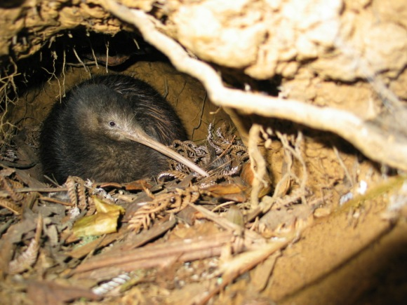 northland-brown-kiwi.jpg