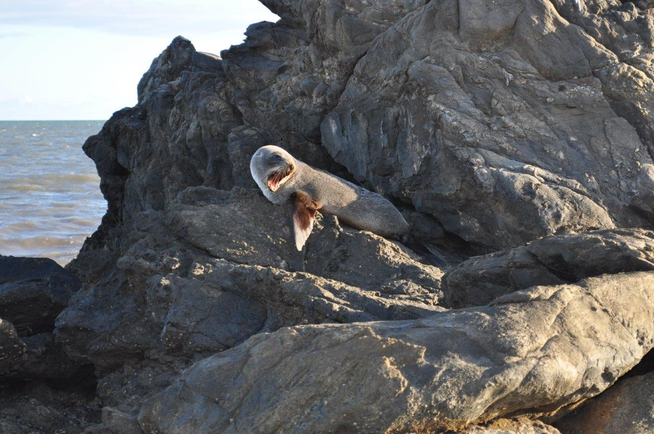 New Zealand fur seals on their big OE