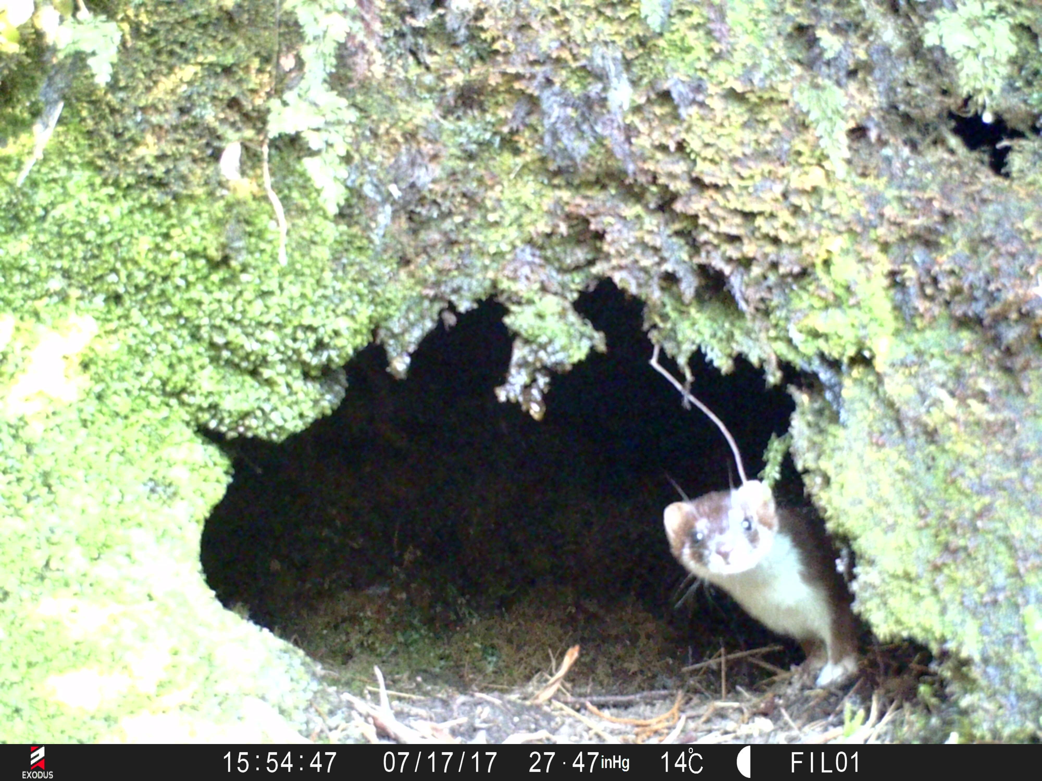 Fiordland kiwi diaries: The perils of nesting
