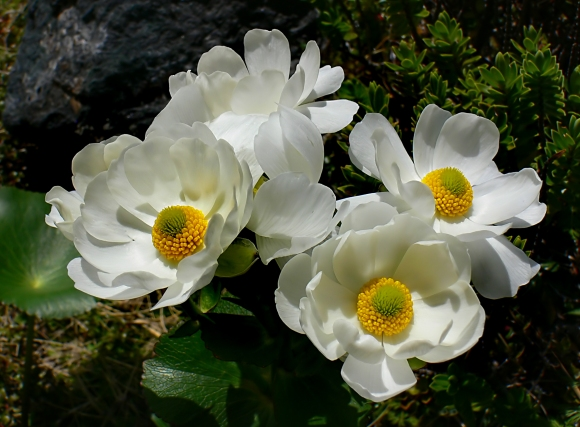 Bernard Spragg - mt cook lily.jpg