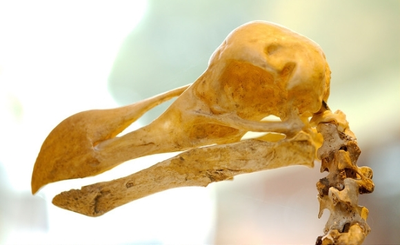 Dodo skeleton. Photo: Josh More | CC BY-NC-ND 2.0.