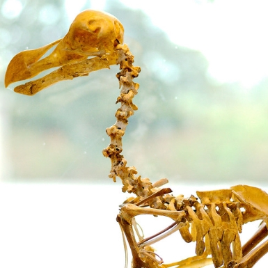 Discovering a dodo in New Zealand