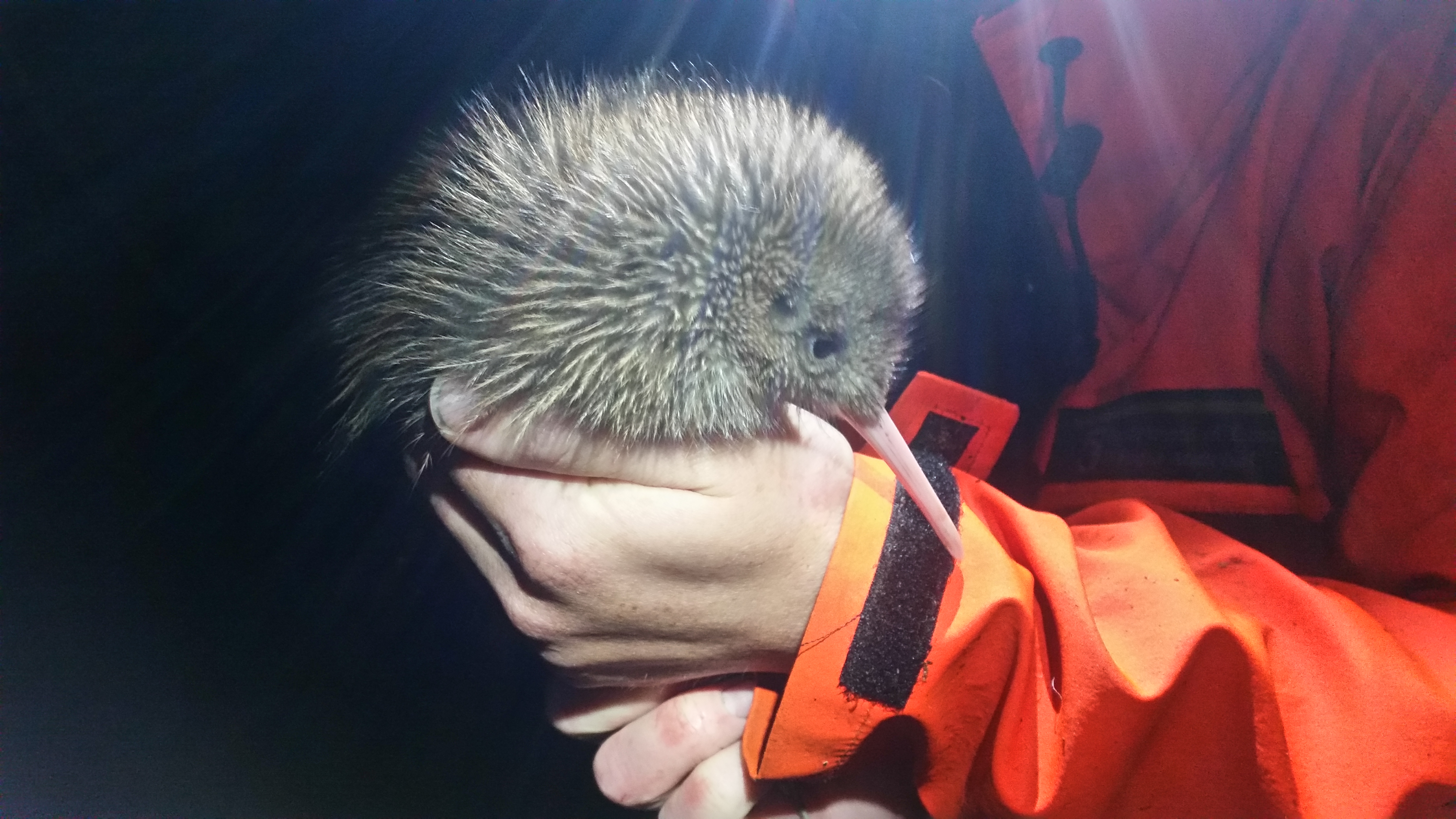 Blog: Fiordland Kiwi Diaries: The first kiwi chick!
