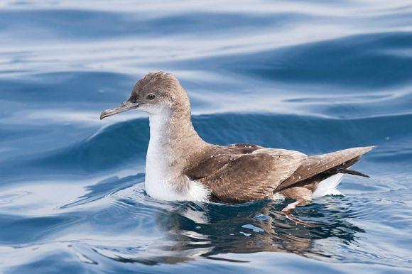 Fluttering shearwater. Photo: JJ Harrison.