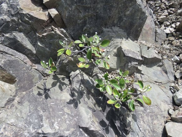 Ohau rock daisy web Photo Shannel Courtney DOC
