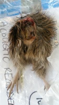 Waimarie carcass.jpg