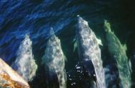 Bottlenose dolphins. Photo: Catherine Tudhope