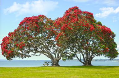 Pohutukawa in Auckland. Photo: DOC