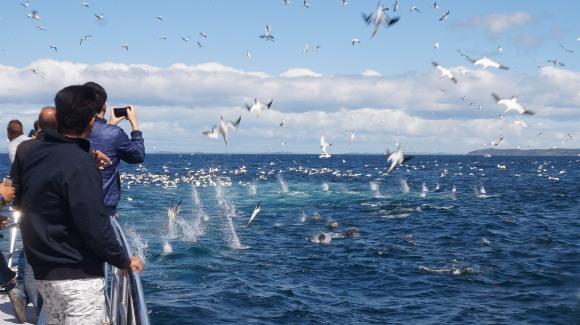 Diving Australasian gannets. Photo: AWADS.