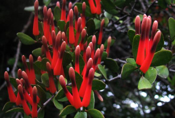 New Zealand scarlet mistletoe.
