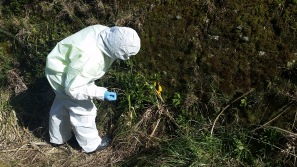 Inspecting a suspect plant for Myrtle Rust