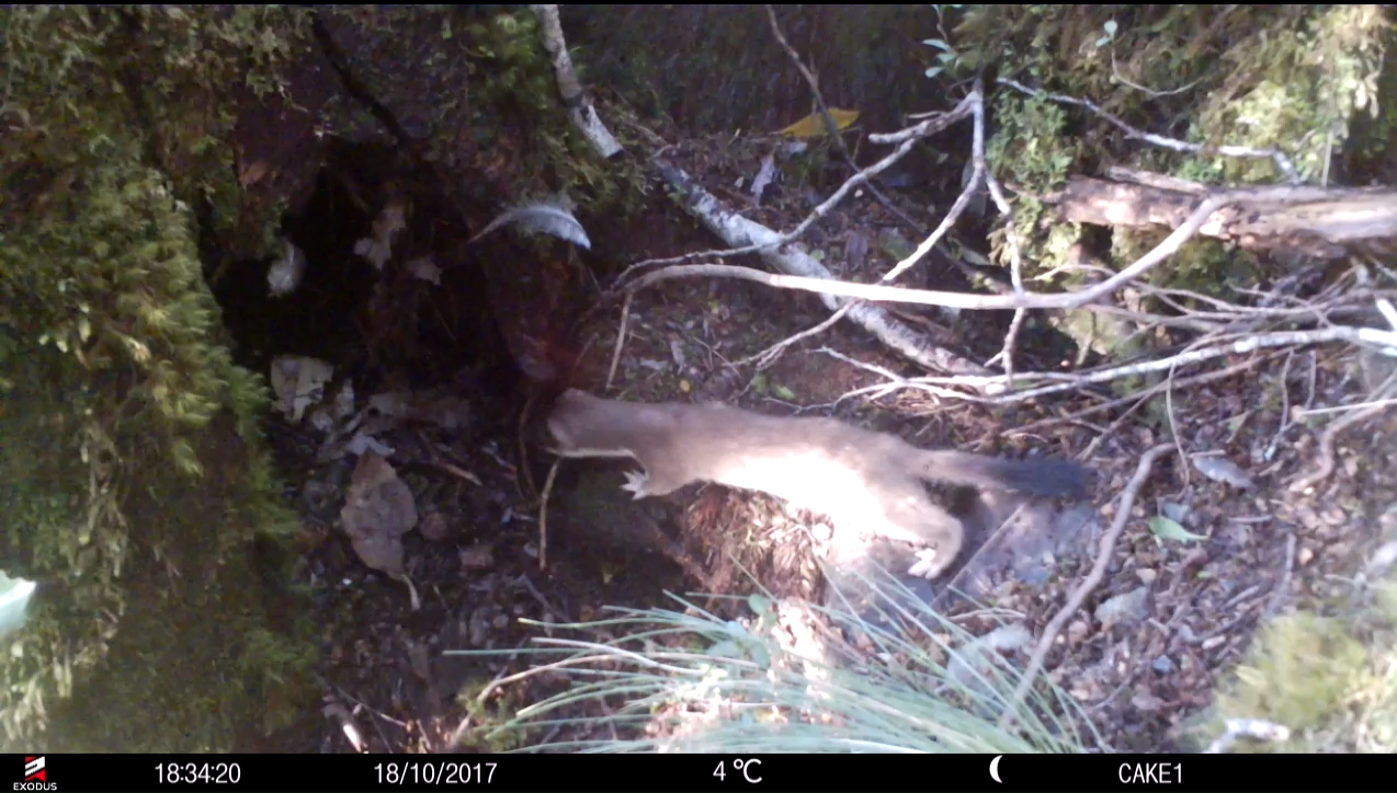 Fiordland Kiwi Diaries: Stoats and possums in nests