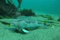 Blue cod. Photo: Danica Stent