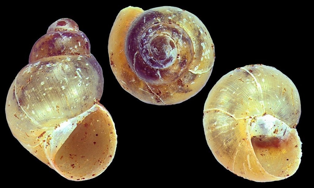 Photo of the week: New Zealand's native micro-snails