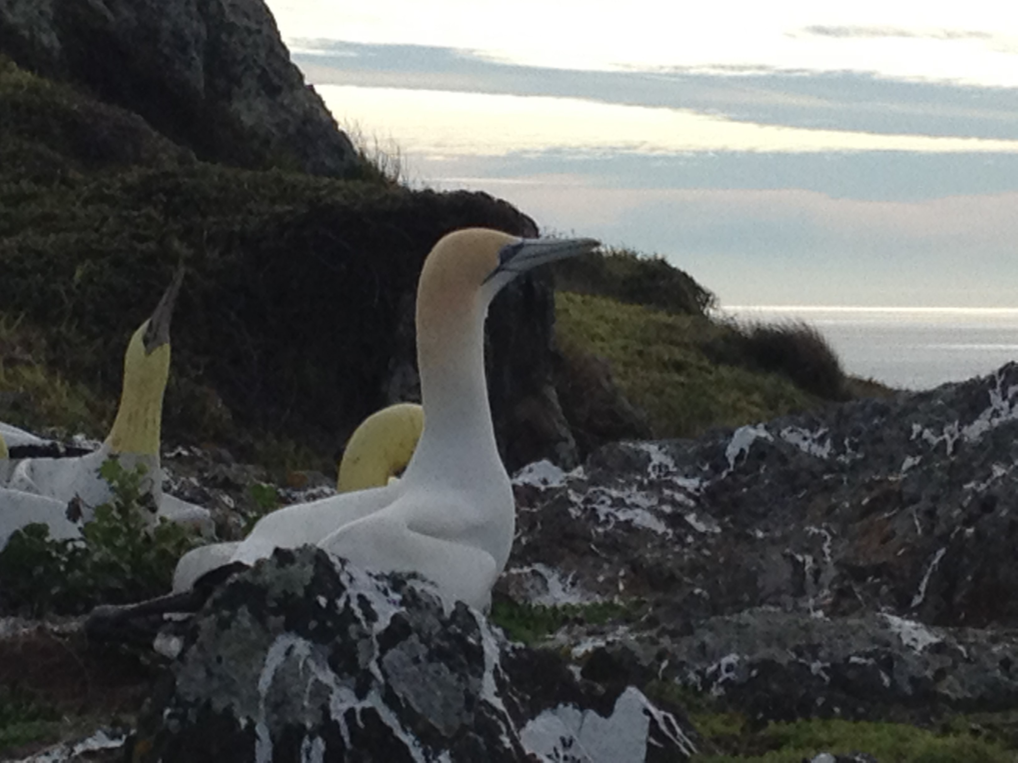 Nigel: The gannet who stole our hearts